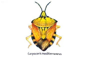 carpocoris