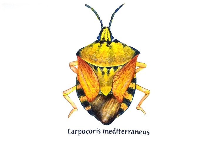 carpocoris