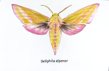 deliphila