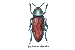 euchroma