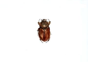 oryctes nasicorni