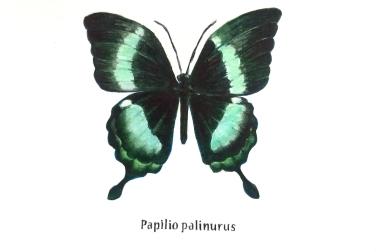 papilo