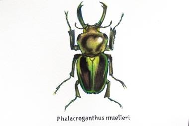 phalacroganthus