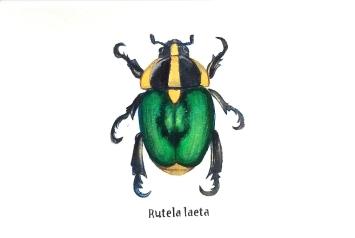 rutelalaeta