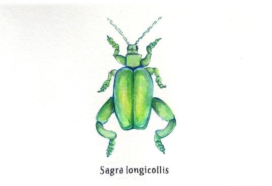 sagralongicallis